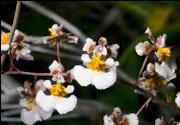 tolumnia-orchids-development